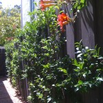 Espaliered Camelias create a green wall.