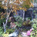 A Japanese Maple is focal point in this charming Oakland patio garden.