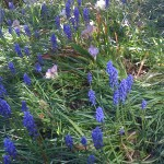 Grape hyacinths and Douglas Iris an provide amazing spring display