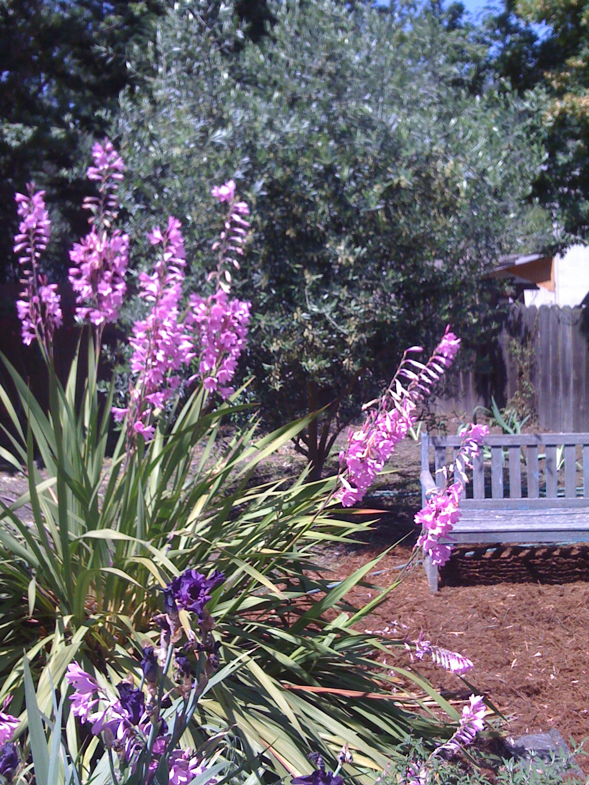 Gladiolas bloom in front of a garden bench and Olive tree.