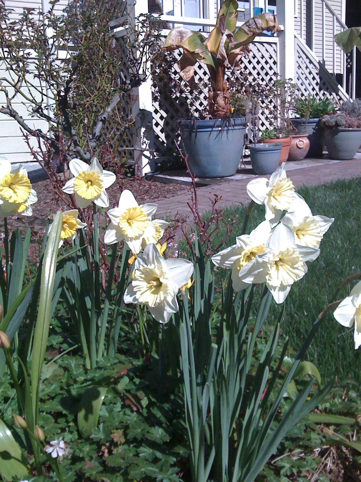Daffodils highlight spring in a Berkeley garden.