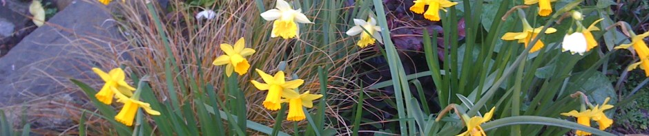 Daffodils brighten this Berkeley garden.