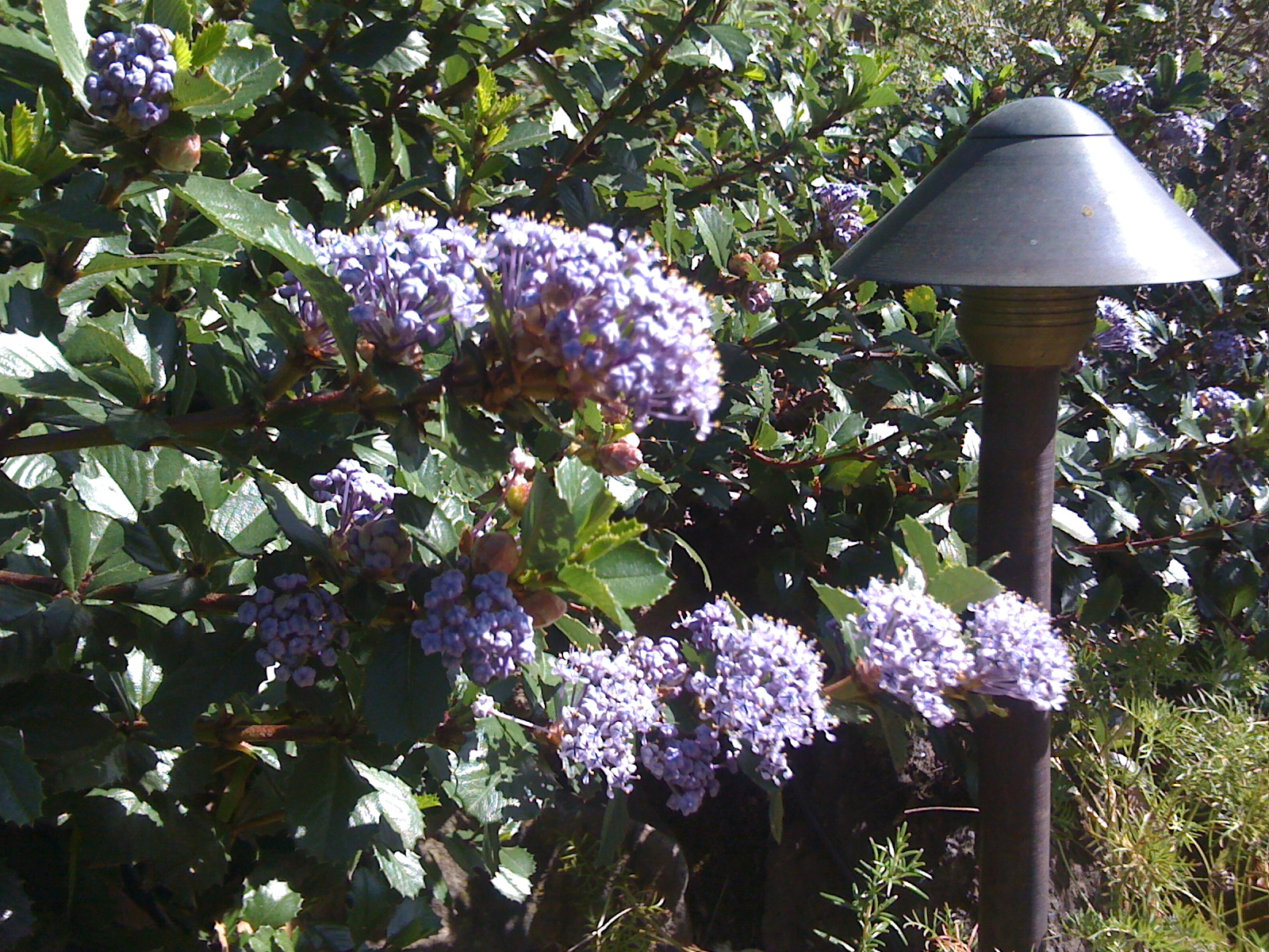 A native ceanothus blooms next to low-voltage outdoor lighting.