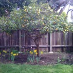 A citrus tree and spring flowers.