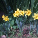 Daffodils and nasturtium quickly regrow as the winter chill fades