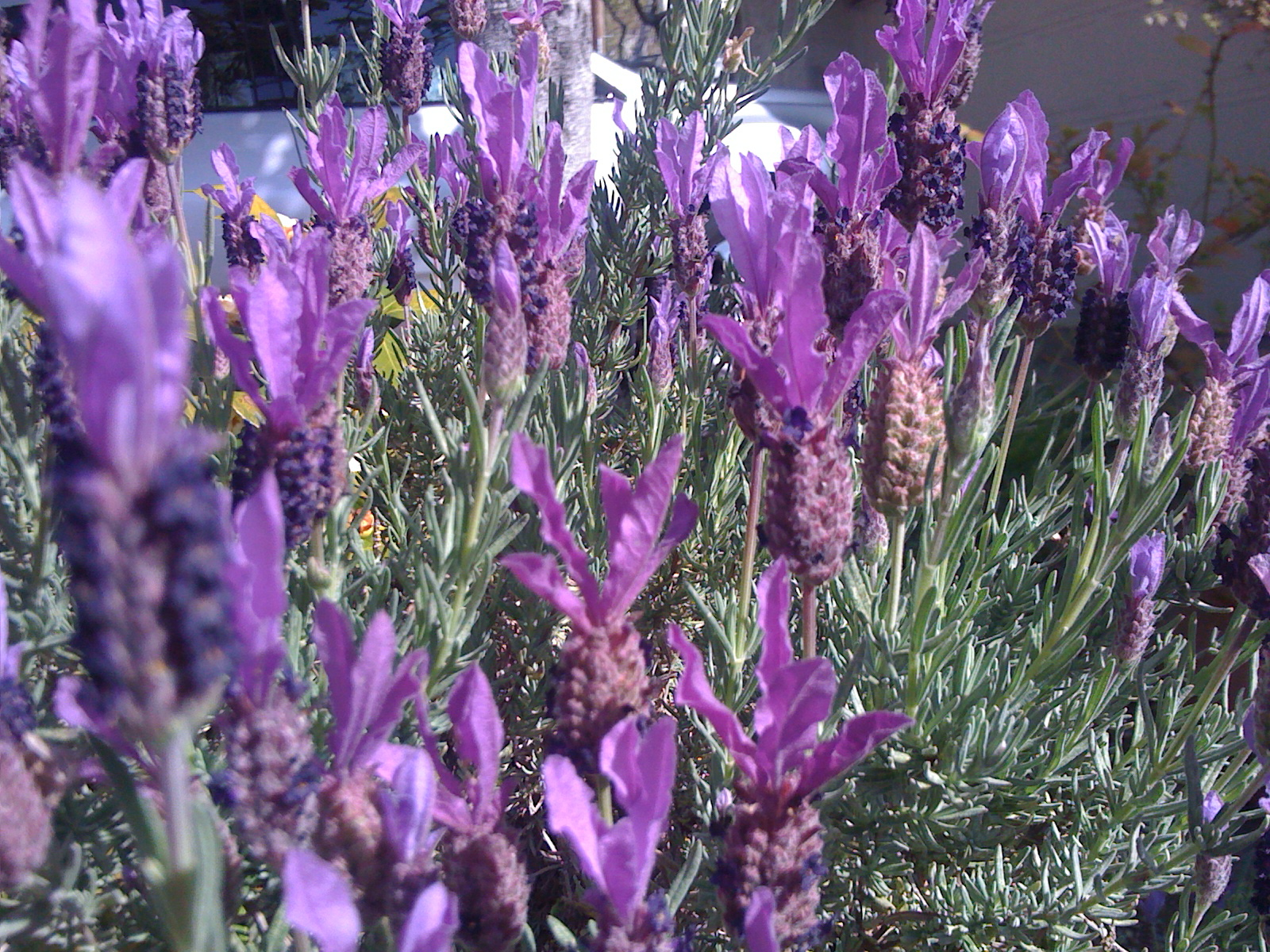 Spanish lavender with it's gorgeous purple blooms.