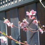 Nectarine blossoms herald late winter's passing.