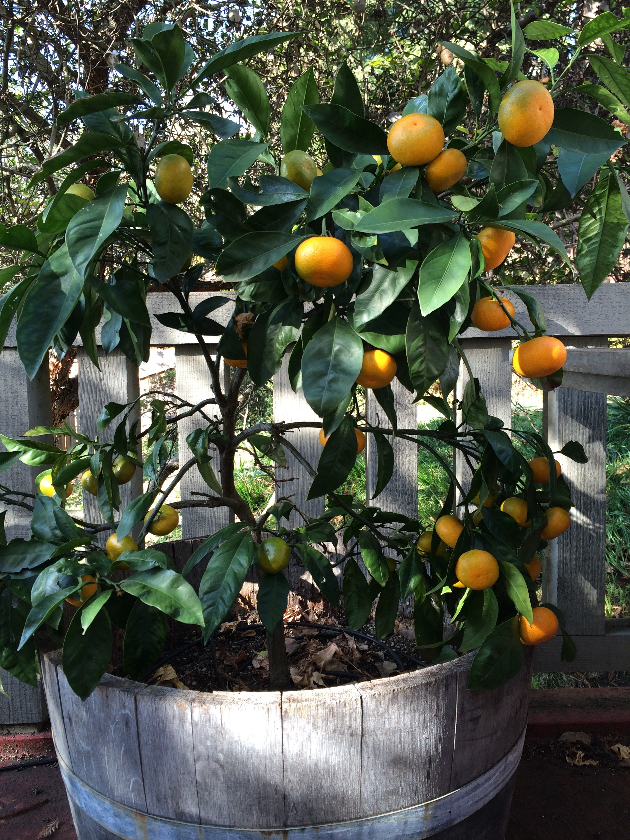 Dwarf Mandarin Citrus in half wine barrel.