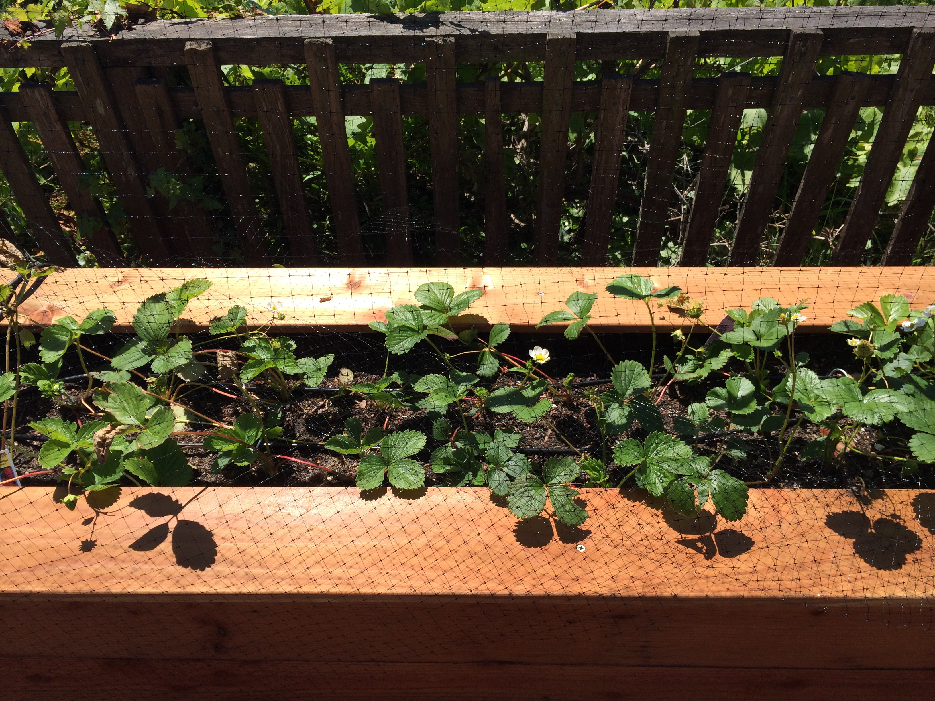 Strawberries watered via drip irrigation